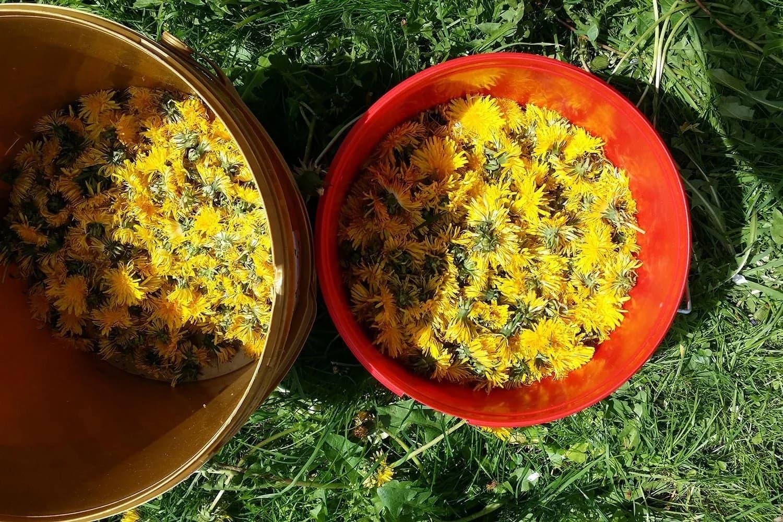 Löwenzahnblüten im Eimer für Honig